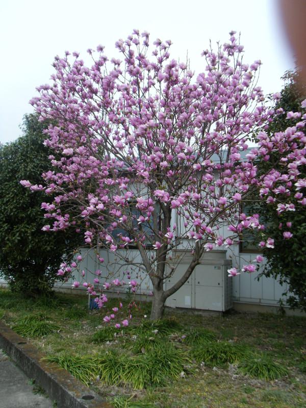 ピンクのモクレンの木