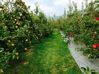 リンゴ畑の親子