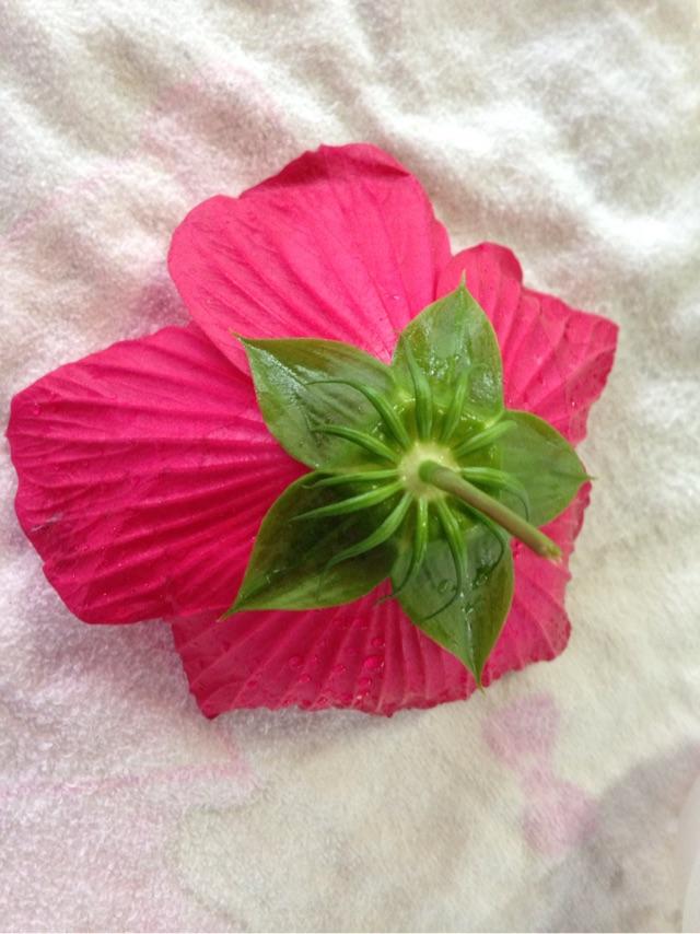 庭に咲いた、タイタンビカスの花がモデル