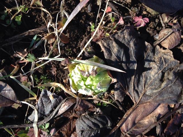 春を告げる 蕗のとう